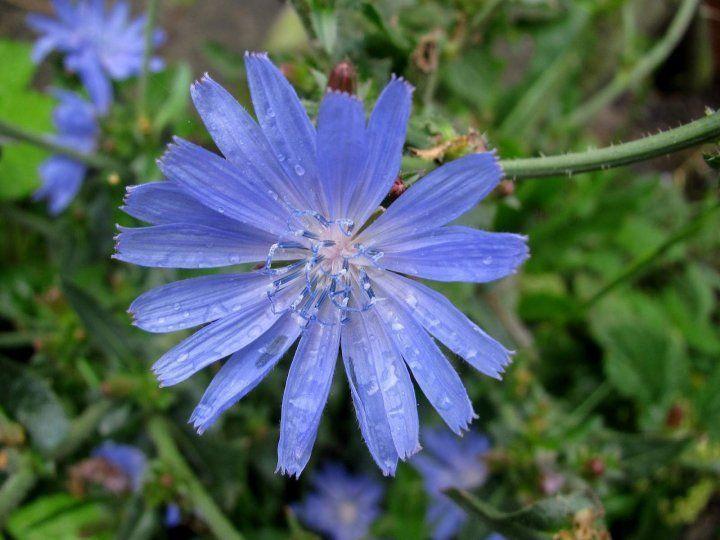Растение с голубыми цветками 7 букв