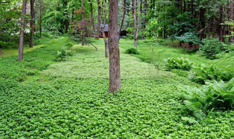 Мульча из почвопокровных растений