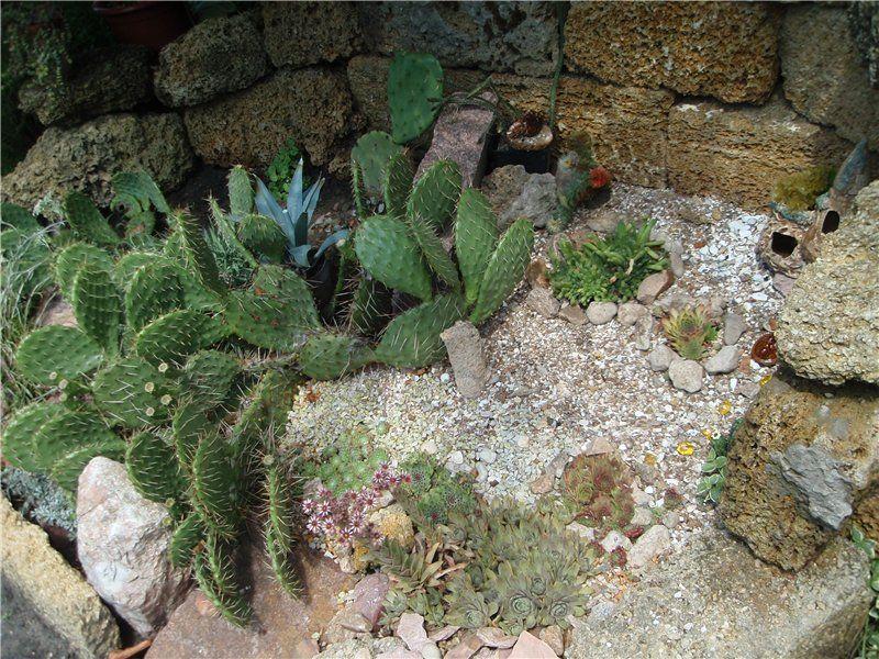 Кроме опунции в мексиканский садик можно высадить и другие холодостойкие кактусы