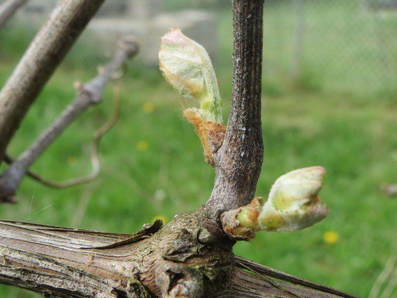 Лоза винограда весной