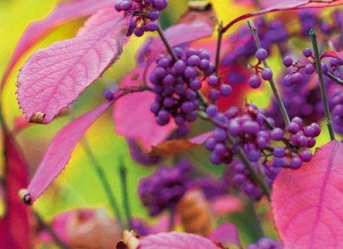 Красивоплодник раскрасит самый скучный сад