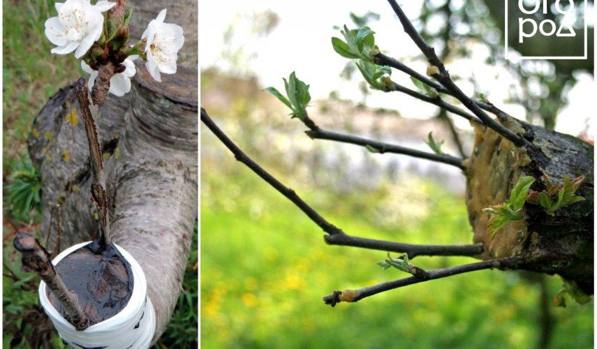 Прививка плодовых деревьев весной: сроки и способы