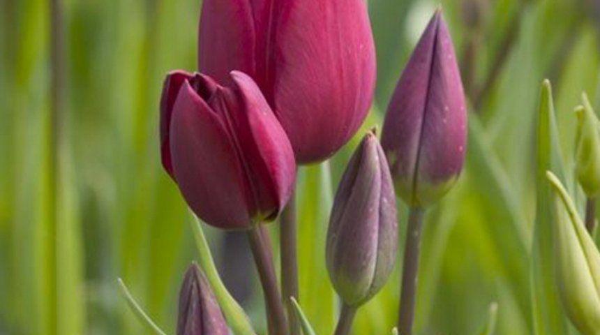 Тюльпаны букетные фото