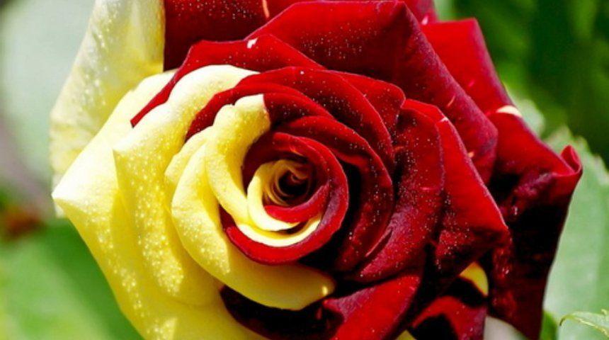 Розы  фото и картинки  kartinkicvetovru