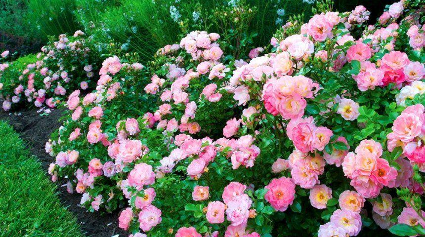 почвопокровная роза сноу балет посадка уход фото