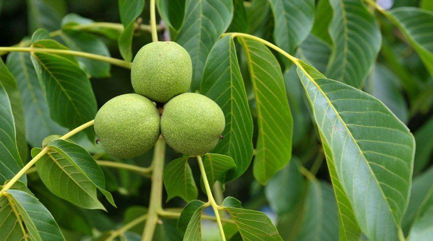 : Дерево грецкого ореха