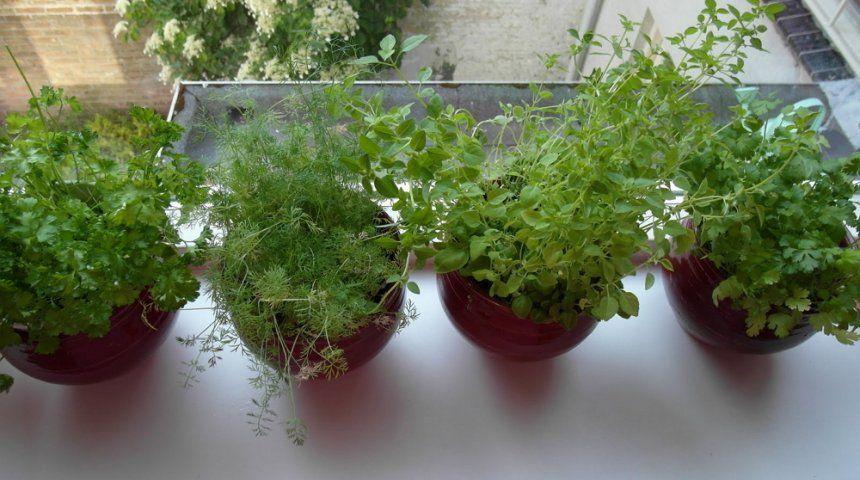 Семена салата кресс