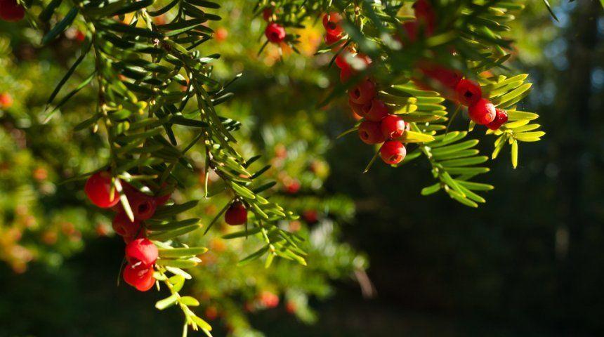 Как сделать красное дерево фото 352