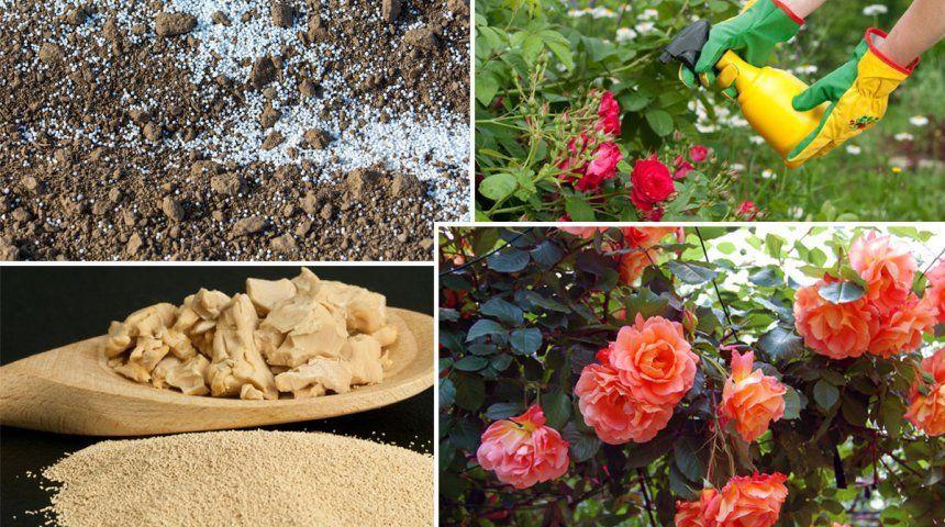 Что посадить рядом с розами?. Обсуждение на LiveInternet