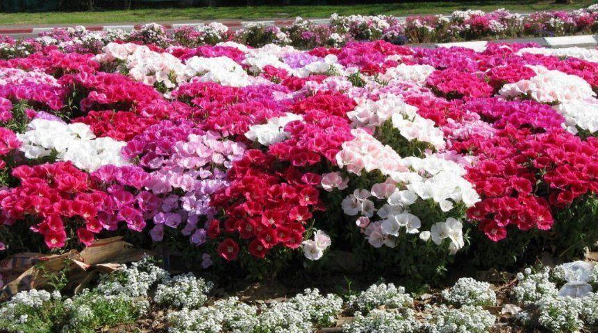 Цветы, которым не страшны осенние заморозки   Дизайн ...: http://www.ogorod.ru/ru/yard/flowerbed/10858/Cvety-kotorym-ne-strashny-osennie-zamorozki.htm