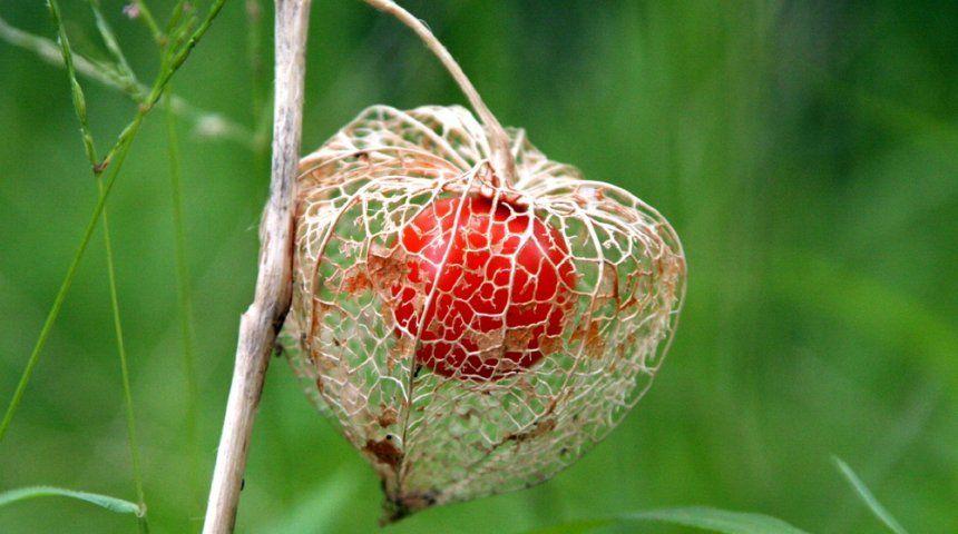 Обычно в конце зимы – начале весны порывистый ветер повреждает тонкую оболочку чашечки, и она превращается в светлую сеточку, через которую виден оранжевый плод