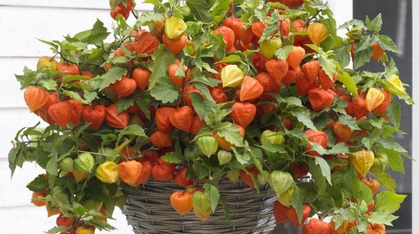 Также физалис нередко выращивают в подвесных кашпо