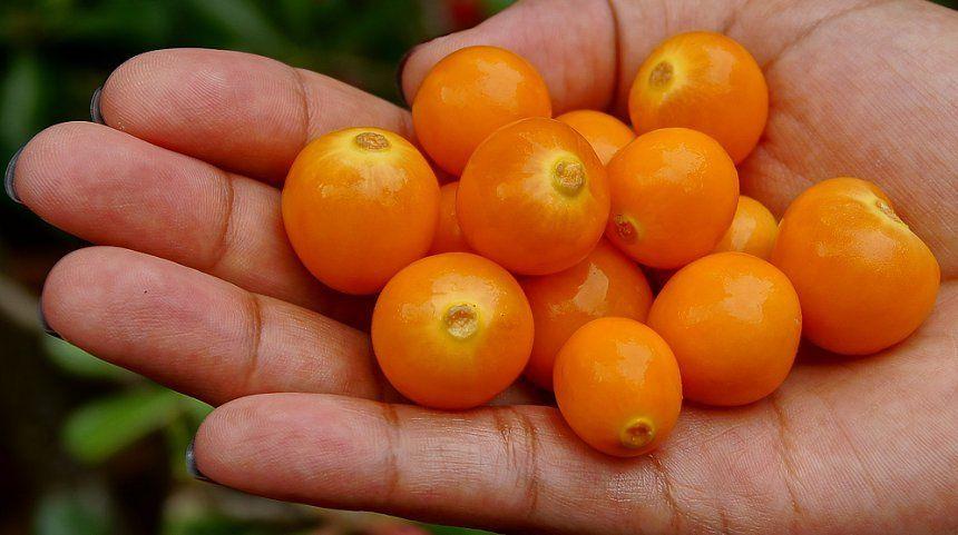 Ягоды физалиса декоративного похожи на маленькие помидорки черри