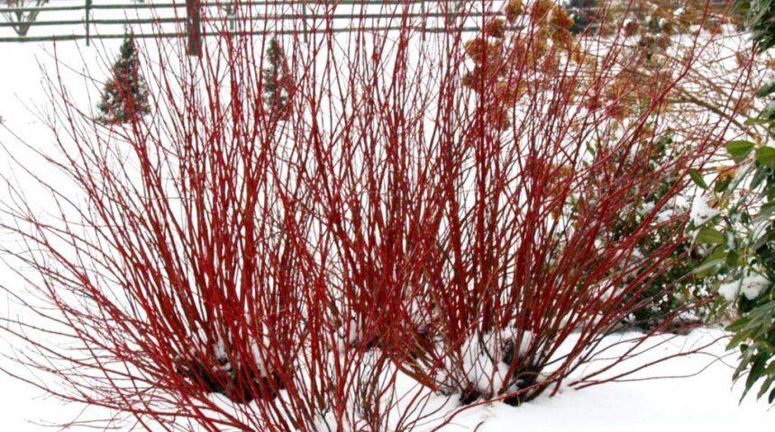 Зимой побеги настолько красные, что создается впечатление, будто на снегу разожгли костер