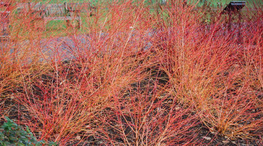 У большинства форм и сортов дерена красного побеги, расположенные на освещенной солнцем стороне, приобретают более яркую окраску