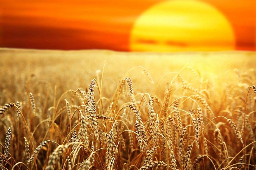 солнце над хлебной нивой