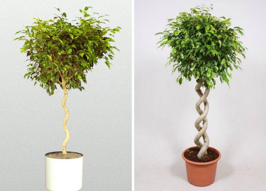 Как из фикуса сделать дерево 545