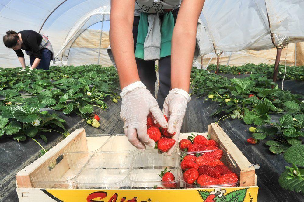 Технология выращивания клубники в открытом грунте