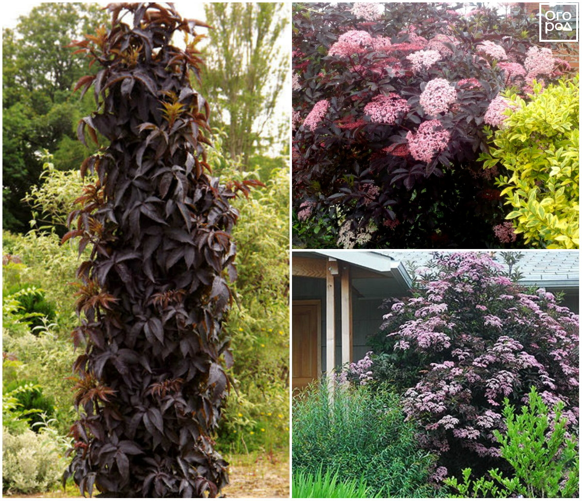 Бузина черная в дизайне сада