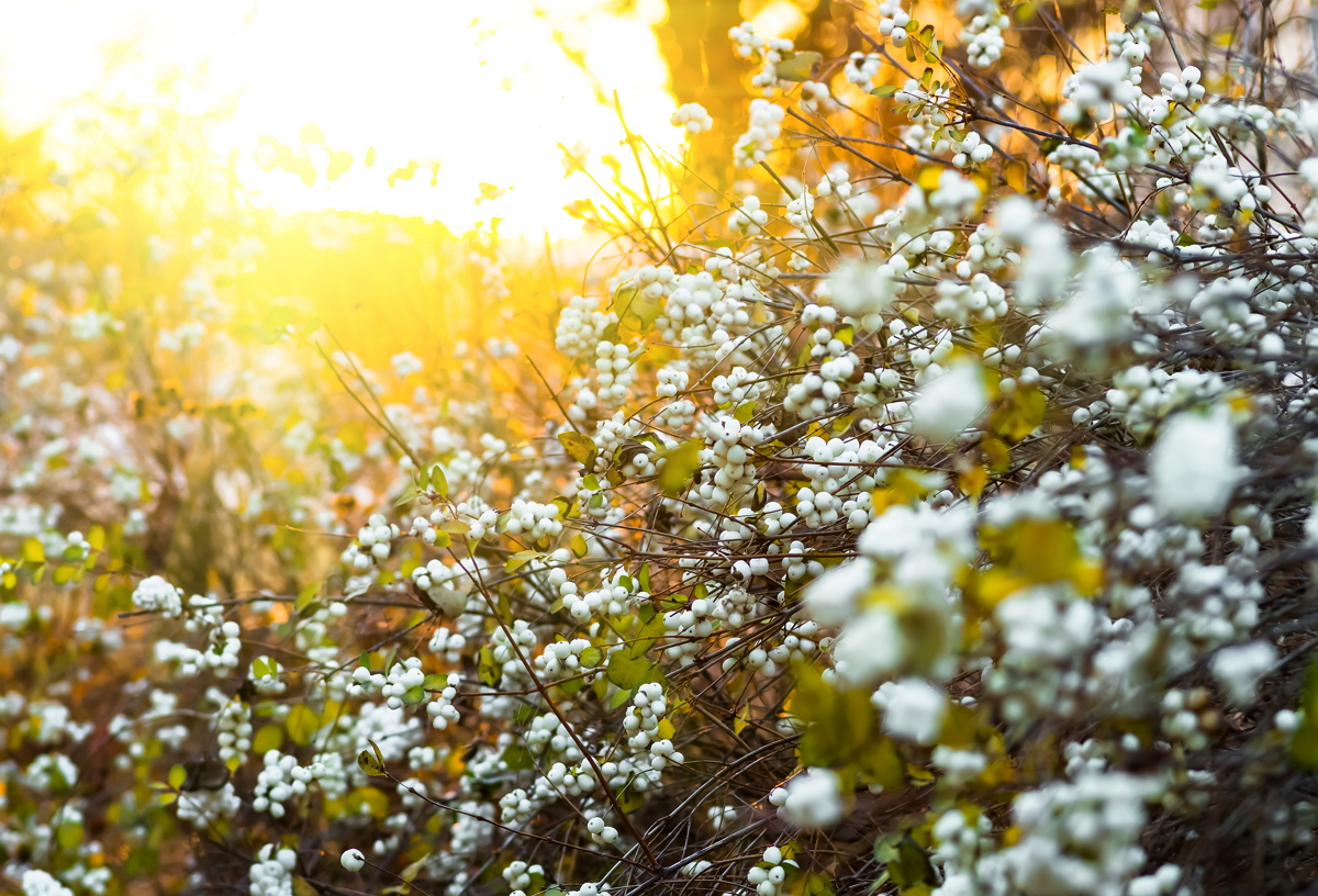 Осенний куст с белыми хлопающими шариками