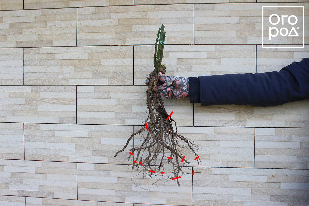Что нужно для посадки роз в открытый грунт?