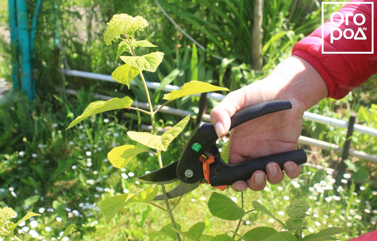 Заготовка зеленых черенков гортензии