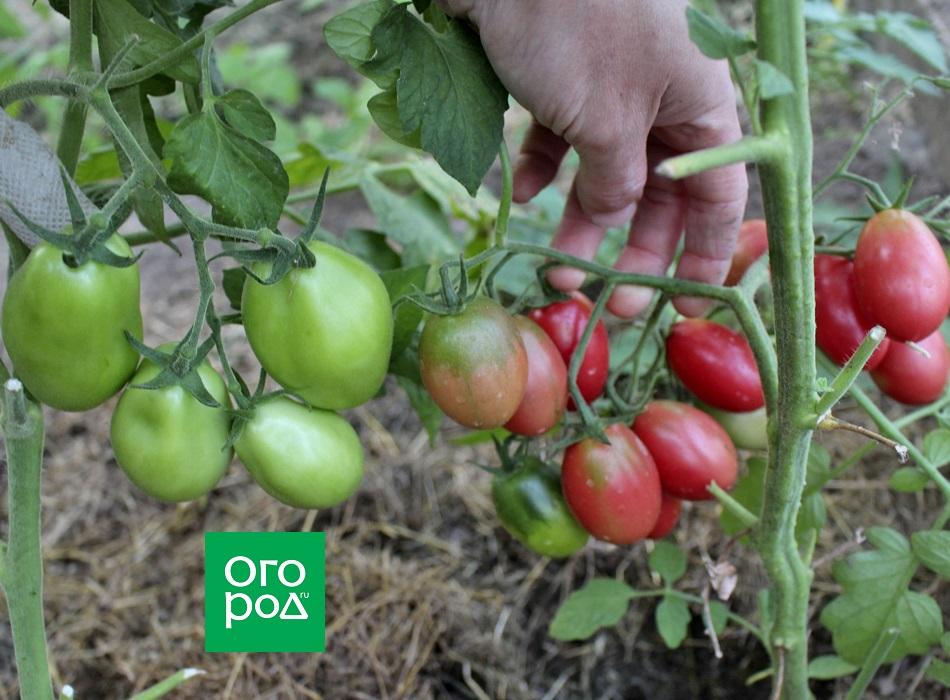 На кистях с большим количеством завязей формируются более мелкие плоды