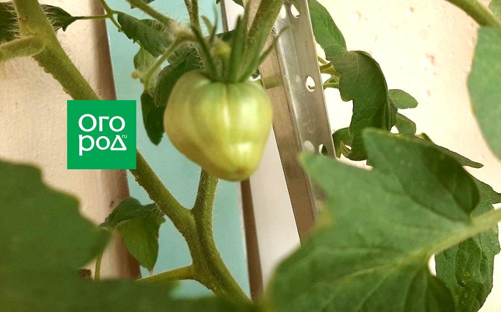 Сорт томатов Бычье сердце фото