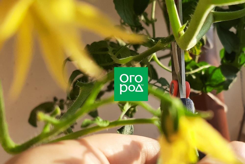 Как укоренить побег томата