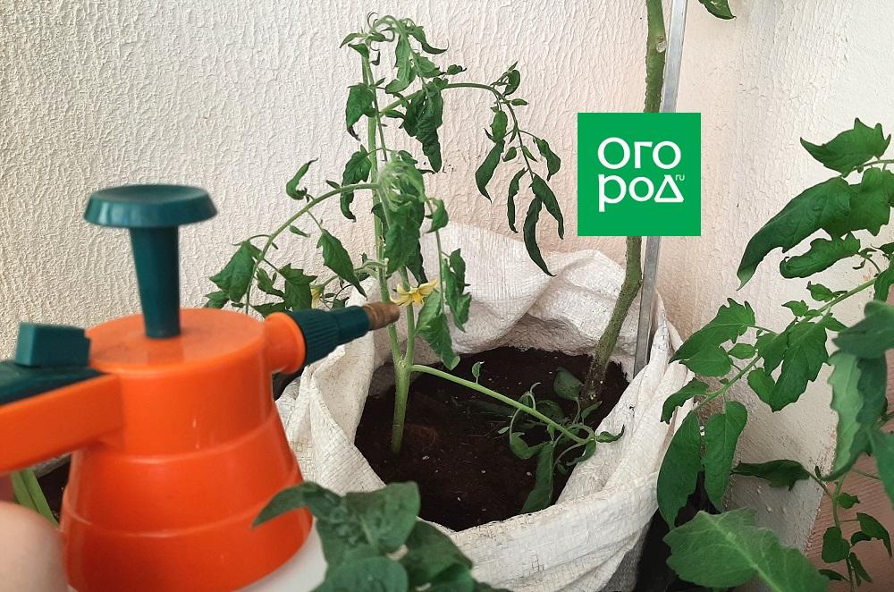 Чем обработать томаты после высадки в грунт